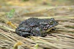 viridis жабы bufo зеленые Стоковые Фотографии RF