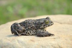 viridis жабы bufo зеленые Стоковые Изображения