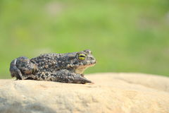 viridis жабы bufo зеленые Стоковая Фотография