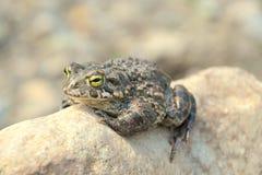 viridis жабы bufo зеленые Стоковое Фото