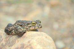 viridis жабы bufo зеленые Стоковая Фотография RF