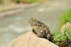 viridis жабы bufo зеленые Стоковые Фото