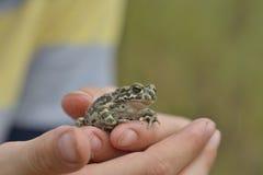 viridis жабы bufo зеленые Стоковые Изображения RF
