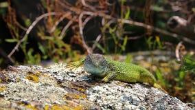 Viridis ящерицы зеленой ящерицы на утесе, чехии акции видеоматериалы