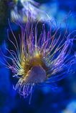 Viridis Anemonia anemone θάλασσας Snakelocks, θαλάσσιο coelenterate σε μια ομάδα θαλασσίων, αρπακτικών ζώων της διαταγής Actiniar Στοκ φωτογραφία με δικαίωμα ελεύθερης χρήσης