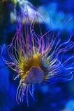 Viridis Anemonia anemone θάλασσας Snakelocks, θαλάσσιο coelenterate σε μια ομάδα θαλασσίων, αρπακτικών ζώων της διαταγής Actiniar Στοκ φωτογραφίες με δικαίωμα ελεύθερης χρήσης