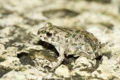 Viridis Bufo/европейская зеленая жаба Стоковые Фотографии RF