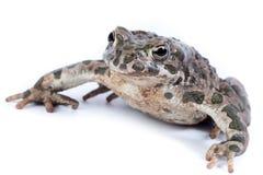 Viridis Bufo, европейская зеленая жаба Стоковые Изображения