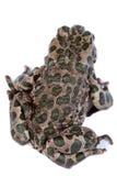 Viridis Bufo, европейская зеленая жаба Стоковое фото RF