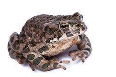 Viridis Bufo, европейская зеленая жаба Стоковая Фотография RF