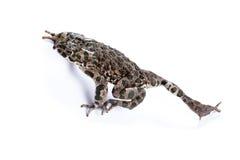 Viridis Bufo, европейская зеленая жаба Стоковая Фотография