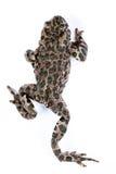 Viridis Bufo, европейская зеленая жаба Стоковое Изображение RF