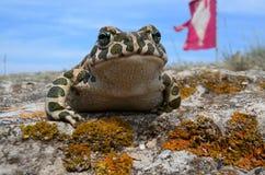 Viridis Bufo жабы Стоковые Изображения RF