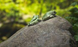 viridis bufo Στοκ Φωτογραφία