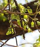 Viridis de Terpsiphone de FLYCATCHER de Paradise d'Africain étés perché sur une branche photo stock