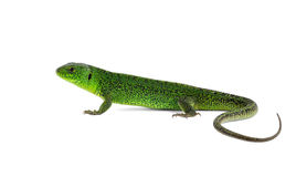 Viridis do Lacerta do lagarto (lagarto verde europeu) Imagem de Stock