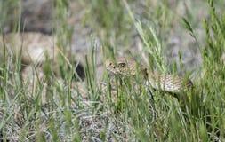 Viridis occidentales salvajes del Crotalus de la serpiente de cascabel de Diamondback en hierba alta imagen de archivo
