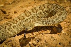 Viridis occidentaux de Crotalus de serpent à sonnettes de prairie Photos stock