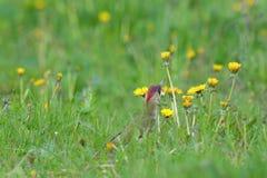Viridis Picus зеленого Woodpecker в траве стоковые изображения rf