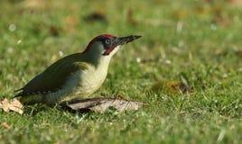 Viridis Picus зеленого Woodpecker Стоковое Фото