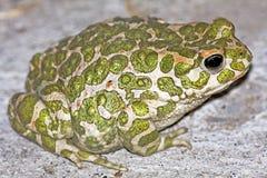 Viridis van Bufo/groene pad stock afbeeldingen