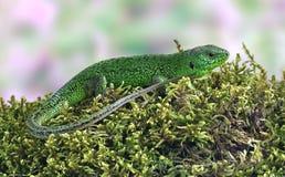 Viridis van Lacerta van de hagedis (Europese Groene Hagedis) Stock Afbeeldingen