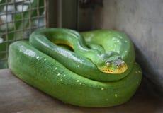 Viridis verts de Morelia de python d'arbre dans l'entaille photographie stock libre de droits
