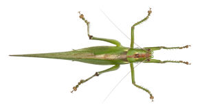 Viridissima de Tettigonia, buisson-cricket vert grand Photographie stock