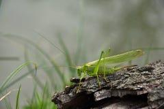 Viridissima de Tettigonia Gafanhoto verde na casca de árvore velha Imagem de Stock Royalty Free