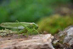 Viridissima de Tettigonia Verde do gafanhoto em uma pedra Imagens de Stock