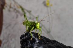 Viridissima Tettigonia, ο μεγάλος πράσινος γρύλος θάμνων στοκ εικόνες