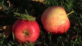 Viridissima van Tettigonia van de insect mooie groene sprinkhaan op rode appel stock videobeelden