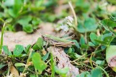 Viridulus Omocestus, кузнечик в зеленом цвете с травой стоковые изображения rf
