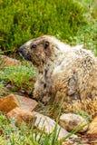 virticlemurmeldjur som ser över skuldra i gräs- fält arkivbilder