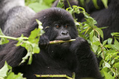 In the virunga park  a small gorilla eats twigs Royalty Free Stock Photo