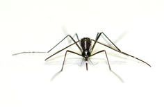 Virus Carrying Mosquito isolated on white background, Zika. Front view close-up of zica mosquito or forest mosquito, Aedes albopictus, black and white mosquito Royalty Free Stock Images