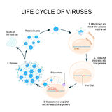 Virus Replication Cycle Stock Photos