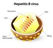 Virusstruktur för hepatit B Arkivbild