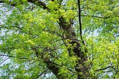 Virutas para rellenar del fraxinus del árbol Foto de archivo