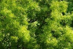Virutas para rellenar del Fraxinus, toldo de árbol común de ceniza europea con follaje verde Opinión superior aérea de la corona  Fotografía de archivo