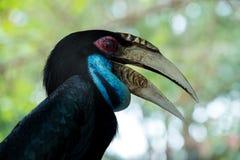 Virvlad Hornbill royaltyfri fotografi