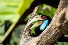 Virvlad Hornbill arkivfoton