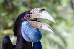 Virvlad Hornbill royaltyfria foton
