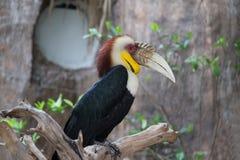 Virvlad Hornbill fotografering för bildbyråer