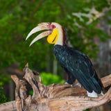 Virvlad Hornbill royaltyfria bilder