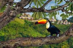Virvlad Hornbill för slut upp arkivbilder