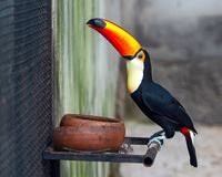 Virvlad Hornbill för slut upp arkivbild