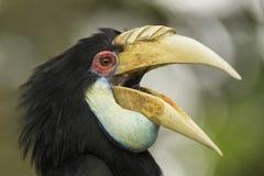 Virvlad hornbill - Rhyticeros undulatus royaltyfri fotografi