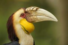 Virvlad hornbill - Rhyticeros undulatus arkivbilder