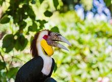 Virvlad Hornbillfågel i den Bali ön Indonesien arkivbild